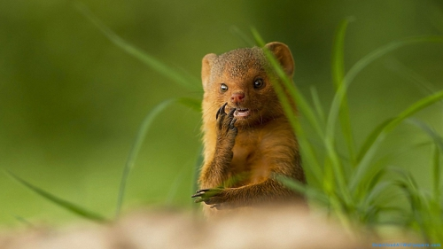 Mongoose, Rodent Animal, Rodent, Brown Color, Grass, Forest, Hand On Face, Snake Killer, Front View, Predator, Wild Animal, Wild, Animal, carnivorous Animal, carnivorous,Mongoose In Forest, Mongoose Hiding In Grass, Mongoose Front View, Mongoose In Grass, Mongoose, Rodent Animal, Rodent, Brown Color, Grass, Forest, Hand On Face, Snake Killer, Front View, Predator, Wild Animal, Wild, Animal, carnivorous Animal, carnivorous, Animal Wallpapers, Latest, HD, Wallpaper, Download, DAW964