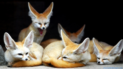 Fox Group, Family, Group, Fox, Desert Fox, Fennec, Fennec Fox, Fennec Fox Group, Fennec Fox Family, Fennec Fox Family Lying In Cave,Fennec Foxes In Cave, Sleeping Fox, Fox In Cave, Fox Family, Fox Group, Family, Group, Fox, Desert Fox, Fennec, Fennec Fox, Fennec Fox Group, Fennec Fox Family, Fennec Fox Family Lying In Cave,Fennec Foxes In Cave, Animal, Wild, Predator, Wild Animal, Yawn, Cave, Lying, Sleep, Cave, Yawning Fox, Fox Family, Fox In Cave, Sleeping Fox, DAW580, Download, Wallpapers, HD, Latest, Fox Wallpapers, Animal Wallpapers, Animal, Wild, Predator, Wild Animal, Yawn, Cave, Lying, Sleep, Cave, Yawning Fox
