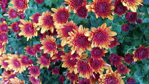 Flower, Flower Plant, Flower Garden, Multi Color, Colorful, Multi Color Flower, Colorful Flower, Chrysanths, Mums, Chrysanthemum, Chrysanths Flower, Mums Flower, Chrysanthemum Flower, Chrysanthemum Flowers Plant, Chrysanthemum Flowers Plant With Leaves,Chrysanthemum Flowers Garden, DAW664, Download, Wallpapers, HD, Latest, Chrysanthemum Wallpapers, Flower Wallpapers, Scenery, Scene, Nature, Horticulture, Harvesting, Cultivation, Plantation, Garden, Yellow Flower, Yellow Flower, Leaves, Plant, Flower, Flower Plant, Flower Garden, Multi Color, Colorful, Multi Color Flower, Colorful Flower, Chrysanths, Mums, Chrysanthemum, Chrysanths Flower, Mums Flower, Chrysanthemum Flower, Chrysanthemum Flowers Plant, Chrysanthemum Flowers Plant With Leaves,Chrysanthemum Flowers Garden, Scenery, Scene, Nature, Horticulture, Harvesting, Cultivation, Plantation, Garden, Yellow Flower, Yellow Flower, Plant, Leaves