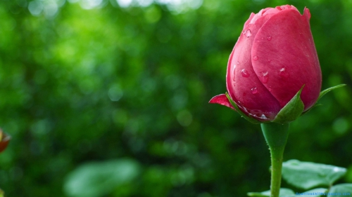 Water, Water Droplets, Petals, Flower, Bud, Rose, Rose Bud, Red Rose, Red Rose Bud, Red Rose With Water Droplet, Red Rose Bud With Water Droplets,Water Droplet On Rose Bud, Scenery, Scene, Nature, Leaves, Plant, Flower Plant, Flower Garden, Side View, Water Droplets On Flower, Dew, Droplets, Water, Water Droplets, Petals, Flower, Bud, Rose, Rose Bud, Red Rose, Red Rose Bud, Red Rose With Water Droplet, Red Rose Bud With Water Droplets,Water Droplet On Rose Bud, DAW640, Download, Wallpapers, HD, Latest, Rose Wallpapers, Flowers Wallpapers, Nature Wallpapers, Scenery, Scene, Nature, Leaves, Plant, Flower Plant, Flower Garden, Side View, Droplets, Dew, Water Droplets On Flower