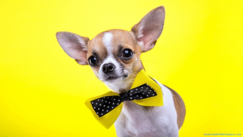 Chihuahua Dog, Chihuahua Dog With Bow,Chihuahua Dog Face Closeup, Yellow Background, Puppy With Bow, Dog With Bow, Puppy, Chihuahua Puppy, Dog Puppy, Small Dog, Animal, Pet, Pet Animal, Dog, Chihuahua Dog Breed, Chihuahua, Chihuahua Dog, Chihuahua Dog With Bow,Chihuahua Dog Face Closeup, DAW700, Download, Wallpapers, HD, Latest, Chihuahua Dog Wallpapers, Dog Wallpapers, Animal Wallpapers, Yellow Background, Puppy With Bow, Dog With Bow, Puppy, Chihuahua Puppy, Dog Puppy, Small Dog, Animal, Pet, Chihuahua, Chihuahua Dog Breed, Dog, Pet Animal
