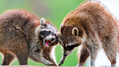 Two Raccoon Fights Closeup,  Raccoon Couple Fighting,  Raccoon Animal,  Raccoon Couple,  Raccoon Fight,  Raccoon,  Two,  Couple,  Pair,  Fight,  Anger,  Aggression,  Animal Couple,  Animal Family,  Animal Fight,  Wild Animal,  Wild,  Animal,  Closeup,  Animal Wallpapers,  Raccoon Wallpapers,  Fight Wallpapers,  Latest,  HD,  Wallpapers,  Download,  DAW676