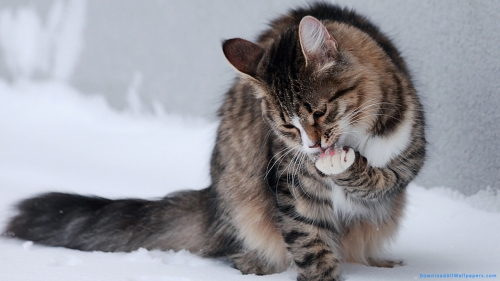 Cat Licking Paw In Snow,Cat In Snow, Animal Licking Paw, Animal In Snow, Outdoor, Cold, Ice, Snow, Gray Cat, Fatty Cat, Animal, Pet, Pet Animal, Cat Paw, Paw, Licking, Cat, Cat Licking Paw, Cat Licking Paw In Snow,Cat In Snow, DAW724, Download, Wallpapers, HD, Latest, Cat Wallpapers, Animal Wallpapers, Animal Licking Paw, Animal In Snow, Outdoor, Cold, Ice, Snow, Gray Cat, Fatty Cat, Animal, Pet, Cat Licking Paw, Cat, Licking, Paw, Cat Paw, Pet Animal