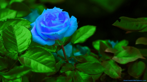 Plant, Flower, Flower With Leaves, Flower Plant, Flower Garden, Blue Color, Rose, Blue Rose, Blue Rose In Flower Garden, Blue Rose, Blue Rose Flower, Blue Rose Plant With Leaves,Blue Rose Flower Garden, Side View, Scenery, Scene, Nature, Dark Background, Horticulture, Cultivation, Park, Garden, Plant With Leaves, Leaves, Plant, Flower, Flower With Leaves, Flower Plant, Flower Garden, Blue Color, Rose, Blue Rose, Blue Rose In Flower Garden, Blue Rose, Blue Rose Flower, Blue Rose Plant With Leaves,Blue Rose Flower Garden, DAW808, Download, Wallpapers, HD, Latest, Rose Wallpapers, Flower Wallpapers, Side View, Scenery, Scene, Nature, Dark Background, Horticulture, Cultivation, Park, Garden, Plant With Leaves, Leaves