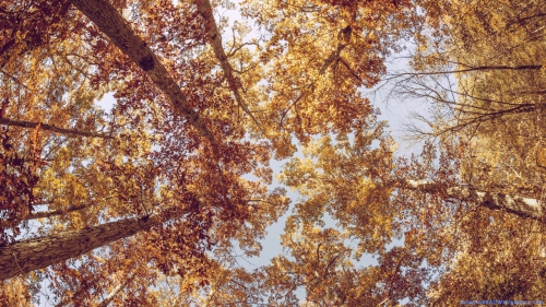 Tall Trees In Forest Bottom View,  Tall Trees In Forest View From Below,  Tall Tree In Forest,  Tall Tree Bottom View,  Tall Tree,  Tree,  Bottom View,  View From Down,  Seen From Below,  Autumn,  Colorful,  Leaves,  Forest,  Sky,  Nature,  Scene,  Scenery,  Nature Wallpapers,  Latest,  HD,  Wallpapers,  Download,  DAW788