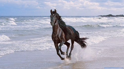 Running, Horse, Black Color, Black Horse, Running Horse, Horse Running On Beach, Black Horse On Beach,Black Horse Running On Beach, Animal, Pet, Pet Animal, Front View, Tides, Waves, Water, Beach, Ocean, Sea, Water Splash, Race, Running, Horse, Black Color, Black Horse, Running Horse, Horse Running On Beach, Black Horse On Beach,Black Horse Running On Beach, DAW052, Download, Wallpapers, HD, Latest, Horse Wallpapers, Animal Wallpapers, Animal, Pet, Pet Animal, Front View, Tides, Waves, Water, Beach, Ocean, Sea, Race, Water Splash