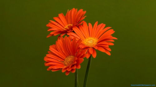 Orange Color, Orange Flowers, Three, Three Flowers, Flower, Daisy, Gerbera, Daisy Flower, Gerbera Flower, Gerbera Daisy, Three Gerbera Daisy Flowers, Gerbera Daisy Flowers, Green Background, Colorful, Colorful Flower, Flower Garden, Orange Color, Orange Flowers, Three, Three Flowers, Flower, Daisy, Gerbera, Daisy Flower, Gerbera Flower, Gerbera Daisy, Three Gerbera Daisy Flowers, Gerbera Daisy Flowers, DAW040, Download, Wallpaper, HD, Latest, Flower Wallpapers, Green Background, Colorful, Flower Garden, Colorful Flower