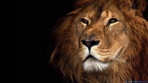 Lion Face Closeup,  Lion Head Closeup,  Lion Looking Away,  Lion Animal,  Lion Face,  Lion Head,  Lion,  Face Closeup,  Head Closeup,  Wild Animal,  Wild,  Animal,  Predator,  Big Cat,  Black Background,  Looking Away,  Animal Wallpapers,  Lion Wallpapers,  Latest,  HD,  Wallpapers,  Download,  DAW124