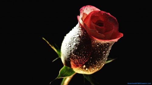 Red Rose, Red Rose Bud, Red Rose Flower Bud, Water Droplet On Flower, Water Droplet On Rose, Red Rose Flower Bud With Water Droplets,Water Droplet On Red Rose Bud, Rose Flower, Rose Bud, Red Rose Flower, Red Rose, Red Rose Bud, Red Rose Flower Bud, Water Droplet On Flower, Water Droplet On Rose, Red Rose Flower Bud With Water Droplets,Water Droplet On Red Rose Bud, Black Background, Nature, Dew, Droplet, Water Droplet, Water Drop, Red Rose Petals, Rose Petals, Flower, Rose, Rose Flower, Rose Bud, Red Rose Flower, DAW160, Download, Wallpapers, HD, Latest, Rose Wallpapers, Flower Wallpapers, Black Background, Nature, Dew, Droplet, Rose, Flower, Rose Petals, Red Rose Petals, Water Drop, Water Droplet