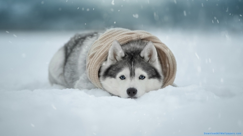 Cold, Winter, Ice, Snow, Sleeping, Resting, Lying, Dog In Snow, Dog Resting On Snow, Dog Lying On Snow, Dog, Husky, Siberian, Husky Dog, Siberian Dog, Siberian Husky, Siberian Husky Dog, Siberian Husky Dog Lying On Snow,Siberian Husky Dog In Snow, Photo Shoot, Outdoor, Snowflakes, Snowfall, Scarf, Cold, Winter, Ice, Snow, Sleeping, Resting, Lying, Dog In Snow, Dog Resting On Snow, Dog Lying On Snow, Dog, Husky, Siberian, Husky Dog, Siberian Dog, Siberian Husky, Siberian Husky Dog, Siberian Husky Dog Lying On Snow,Siberian Husky Dog In Snow, Pet Animal, Photo Shoot, Outdoor, Scarf, Snowfall, Snowflakes, DAW412, Download, Wallpapers, HD, Latest, Siberian Husky Dog Wallpapers, Dog Wallpapers, Pet Animal, Animal Wallpapers