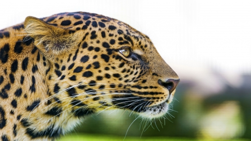 Side View, Face Closeup, Leopard, Leopard Animal, Leopard Side View, Leopard Face Closeup, Leopard Face Closeup Side View,Leopard Face Side View, DAW436, Download, Wallpapers, HD, Latest, Leopard Wallpapers, Animal Wallpapers, Animal, Wild, Wild Animal, Predator, Big Cat, Gazing, Staring, Looking Away, Side View, Face Closeup, Leopard, Leopard Animal, Leopard Side View, Leopard Face Closeup, Leopard Face Closeup Side View, Looking Away, Staring, Gazing, Big Cat, Predator, Wild Animal, Wild, Animal,Leopard Face Side View
