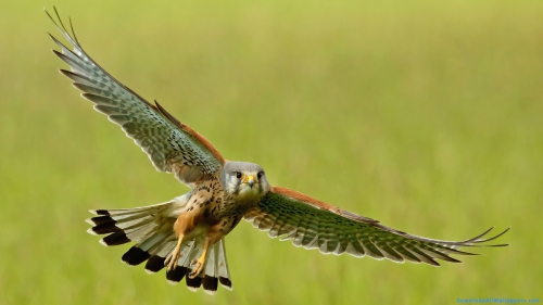 Kestrel Bird, Kestrel, Wild Bird, Predator Bird, Wild, Predator, Bird, Flying, Wide Wings, Spread Wings, Wings,Flying Kestrel Bird, Kestrel Bird, Kestrel, Wild Bird, Predator Bird, Wild, Predator, Bird, Flying, Wide Wings, Spread Wings, Wings, Bird Wallpapers, Kestrel Wallpapers, Latest, HD, Wallpapers, Download, DAW1523
