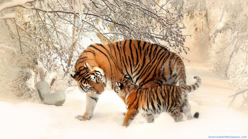 Siberian Tiger, Siberian, Tiger, Wild Animal, Predator Animal, Wild, Predator, Animal, Big Cat, Cub, Tiger Cub, Tiger Family, Animal Family, Family, Walking, Snow, Side View,Siberian Tiger With Cub In Snow, Siberian Tiger With Cub, Siberian Tiger In Snow, Tiger With Cub, Tiger In Snow, Tiger Side View, Siberian Tiger, Siberian, Tiger, Wild Animal, Predator Animal, Wild, Predator, Animal, Big Cat, Cub, Tiger Cub, Tiger Family, Animal Family, Family, Walking, Snow, Side View, Animal Wallpapers, Latest, HD, Wallpapers, Download, DAW1516