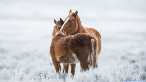 Two Horses, Horse Couple, Brown Horse Couple, Brown Horse, Brown Color, Horse, Pony, Couple, Pair, Two, Animal Couple, Pet Animal, Pet, Animal, Snow, Ice, Cold, Winter, Pony Couple, Pony In Snow, Pony Horse,Two Horses In Snow, Animals In Snow, Two Horses, Horse Couple, Brown Horse Couple, Brown Horse, Brown Color, Horse, Pony, Couple, Pair, Two, Animal Couple, Pet Animal, Pet, Animal, Snow, Ice, Cold, Winter, Pony Couple, Pony In Snow, Pony Horse, Animal Wallpapers, Latest, HD, Wallpaper, Download, DAW988