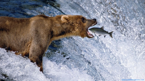 Bear Animal, Bear, Hunting, Catching, Fish, Water, Waterfall, River, Lake, Side View, Open Mouth, Wild Animal, Predator, Wild, Animal,Bear Hunting Fish From Waterfall, Bear Hunting Fish, Bear Catching Fish, Bear In Waterfall, Bear In Water, Bear In Lake, Bear In Lake, Bear Animal, Bear, Hunting, Catching, Fish, Water, Waterfall, River, Lake, Side View, Open Mouth, Wild Animal, Predator, Wild, Animal, Bear Wallpapers, Animal Wallpapers, Latest, HD, Wallpaper, Download, DAW1036