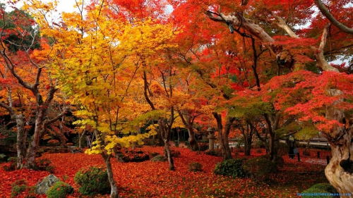 Maple Tree, Colorful Maple Tree, Red Maple Tree, Yellow Maple Tree, Maple, Leaves, Maple Leaves On Ground, Leaves On Ground, Autumn, Maple Tree Garden, Maple Tree Park, Park, Colorful, Multi Color, Garden, Nature, Scene, Scenery,Red And Yellow Maple Tree Garden, Red And Yellow Maple Tree, Red And Yellow, Maple Tree, Colorful Maple Tree, Red Maple Tree, Yellow Maple Tree, Maple, Leaves, Maple Leaves On Ground, Leaves On Ground, Autumn, Maple Tree Garden, Maple Tree Park, Park, Colorful, Multi Color, Garden, Nature, Scene, Scenery, Nature Wallpapers, Latest, HD, Wallpaper, Download, DAW1076