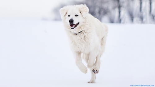 Pyrenean Mountain Dog, Pyrenean Dog, Great Pyrenees Dog, Great Pyrenees, Pyrenean, Pyrenees, Mountain Dog, White Color, White Dog, Dog Running On Snow, Running Dog, Fluffy Dog, Snow, Ice, Winter, Cold, Running, Dog, Pet Animal, Pet, Animal,Pyrenean Mountain Dog Running On Snow, Pyrenean Mountain Dog, Pyrenean Dog, Great Pyrenees Dog, Great Pyrenees, Pyrenean, Pyrenees, Mountain Dog, White Color, White Dog, Dog Running On Snow, Running Dog, Fluffy Dog, Snow, Ice, Winter, Cold, Running, Dog, Pet Animal, Pet, Animal, Animal Wallpapers, Dog Wallpapers, Latest, HD, Wallpaper, Download, DAW1084